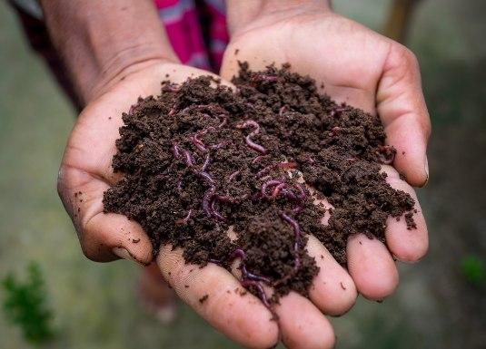 gusanos para compost